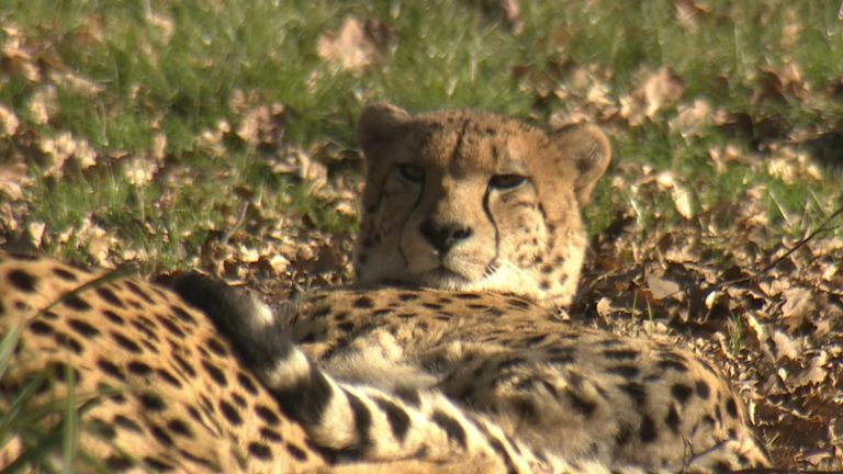 The cats are being cared for at Ashia's Cheetah Centre in South Africa's Western Cape