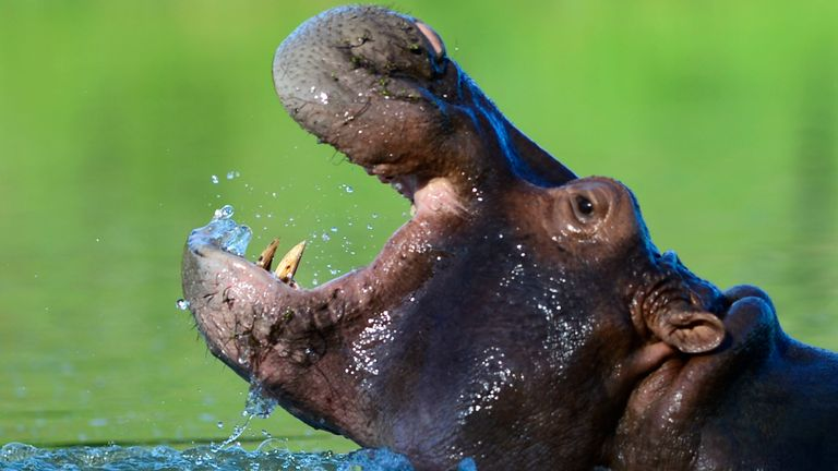 A hippo is seen at the Hacienda Napoles theme park, once the private zoo of drug kingpin Pablo Escobar at his Napoles ranch, in Doradal, Antioquia department, Colombia on June 22, 2016. More than twenty years after drug lord Pablo Escobar died in a gunfight with police, a strange legacy survives him: his pet hippos. Escobar bought four hippos from a zoo in California and flew them to his ranch in the early 1980s.