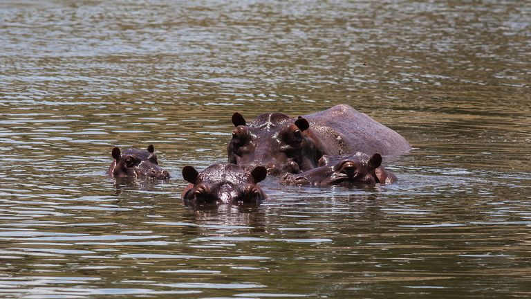 DORADAL, COLOMBIA - SEPTEMBER 24: Hippopotamus swim in one of the lakes near by Hacienda Napoles on September 24, 2018 in Doradal, Colombia. Cartel leader Pablo Escobar owned Hacienda Naples where he set up a theme park and a private zoo in the early 1980s. After his death in 1993, the Colombian government confiscated the exotic animals but left four hippopotamus that have multiplied.