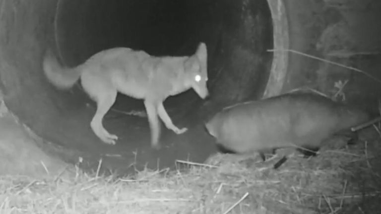 Badger and Coyote Seen Traveling Together in Highway Culvert