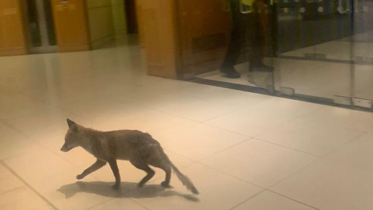 Fox spotted in parliament's Portcullis House