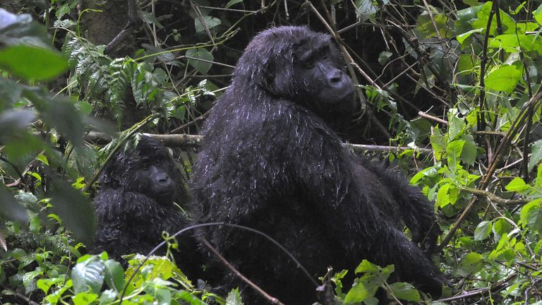 A mother and juvenile mountain gorilla in Bwindi Impenetrable forest in Uganda. File pic