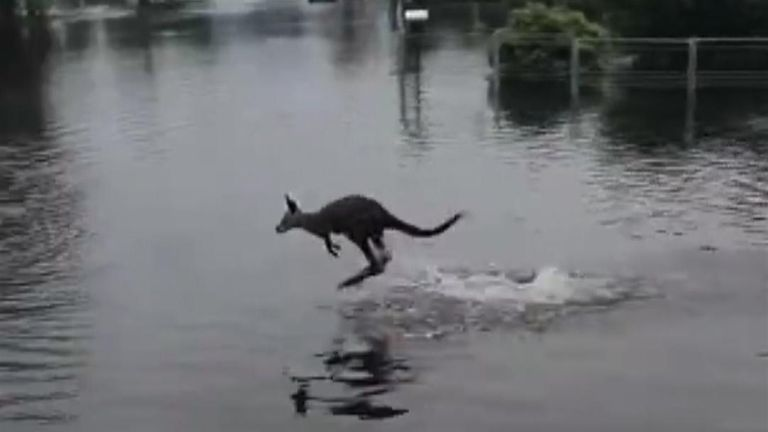 Baby kangaroo navigates through flood waters in New South Wales