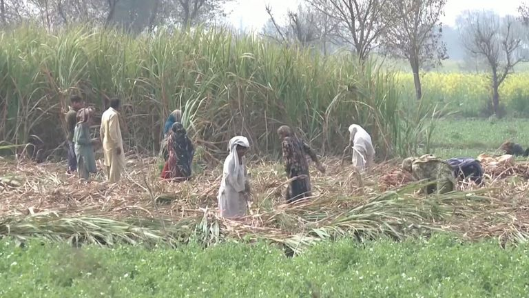 Locusts in Pakistan