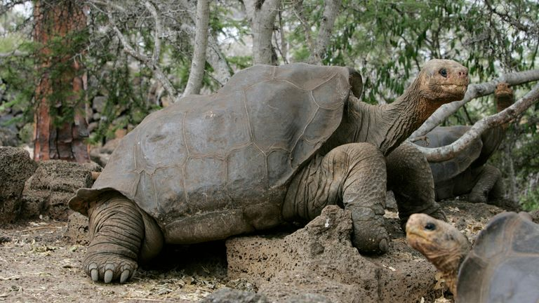Lonesome George was the last of his kind before his death in 2012