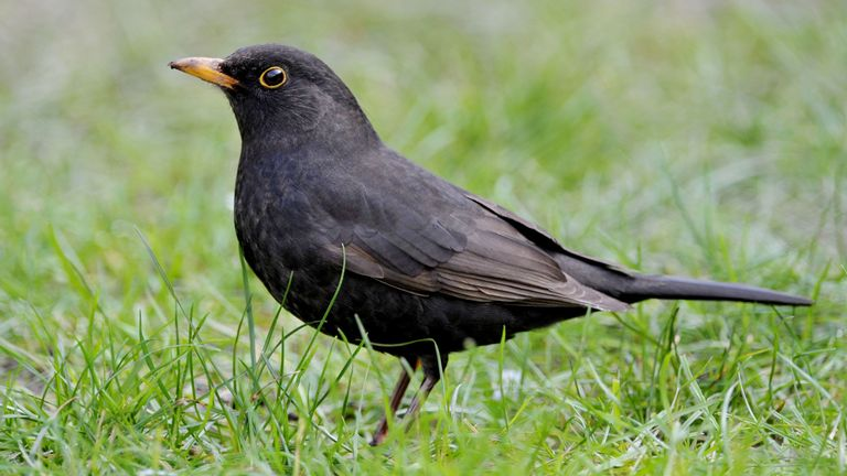 Nesting blackbirds have been spotted earlier than normal