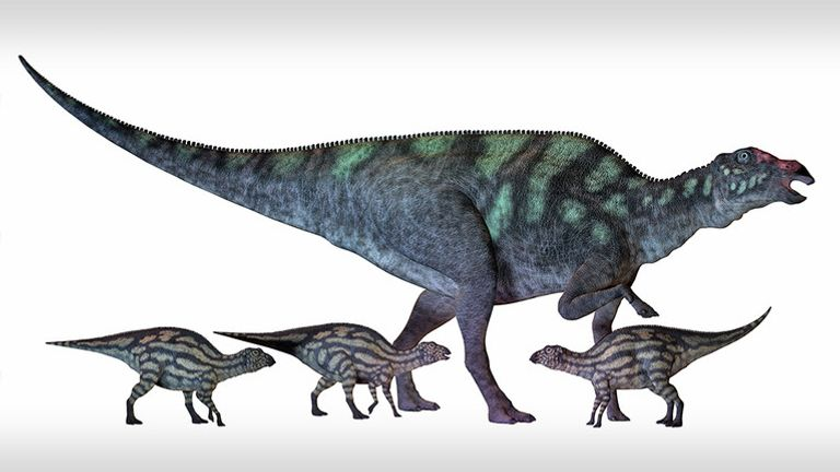 Maiasaura is a large duck-billed dinosaur that lived in North America in the Cretaceous Era shown here with several hatchlings.Eggshells from the large, duck-billed dinosaur Maiasaura yielded a temperature of 44 degrees Celsius (111.2 degrees Fahrenheit)