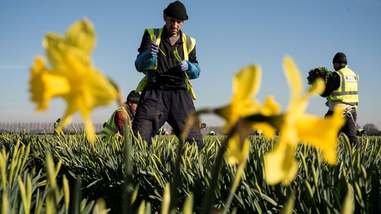 Migrant worker flower pickers from Romania harvest daffodils on Taylors Bulbs farm near Holbeach in eastern England, on February 25, 2019