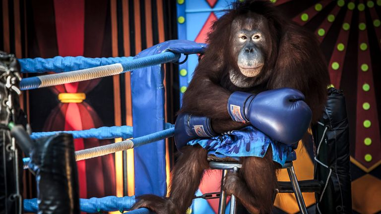 """Losing the fight"" shows an Orangutan dressed in boxing attire at Safari World in Bangkok. Pic: Aaron Gekoski/Wildlife Photographer of the Year"