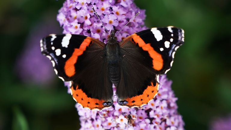 A red admiral butterfly is thought to have woken early in the Channel Islands