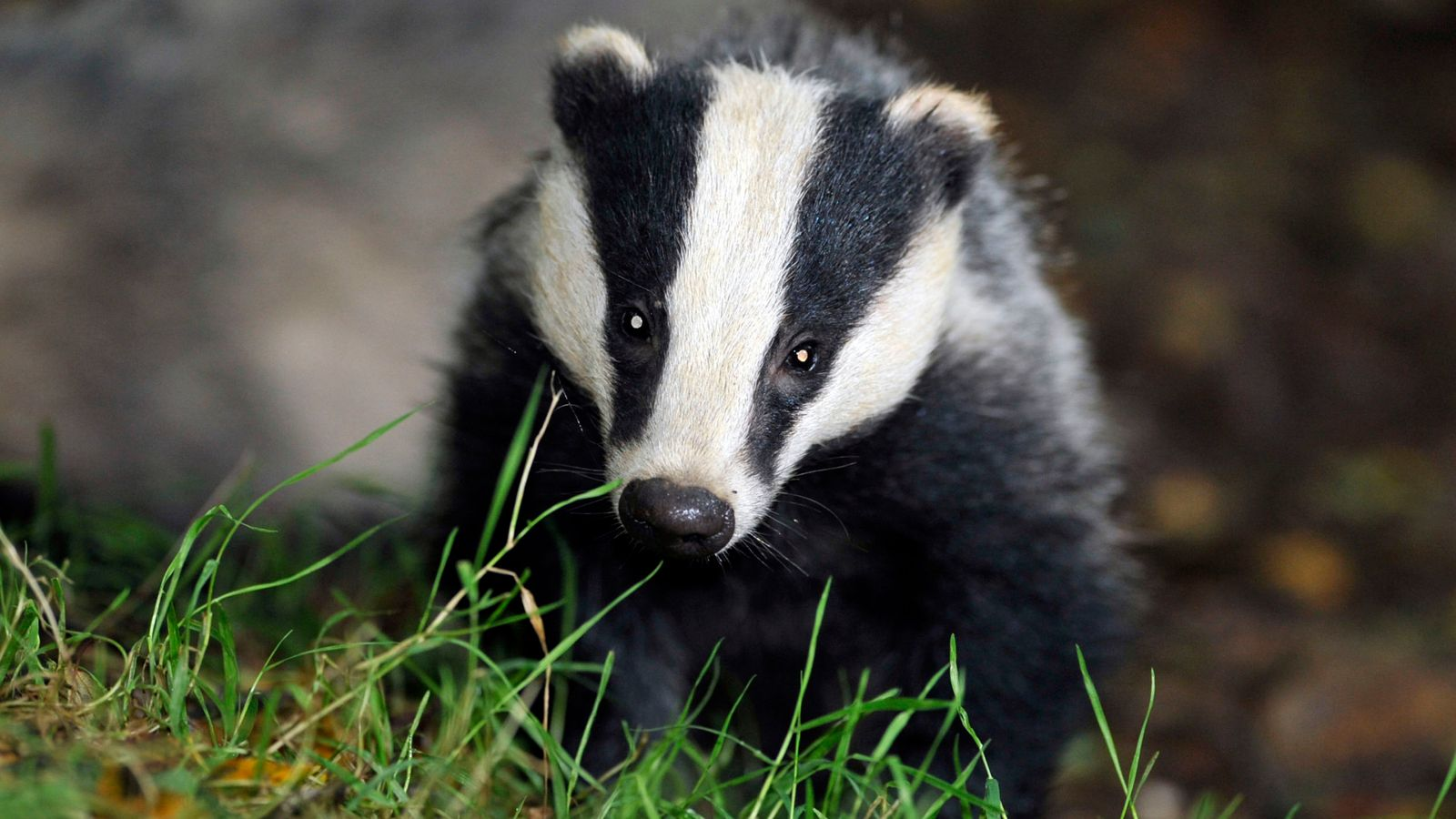 Badger culling to tackle TB in livestock to be phased out, govt announces