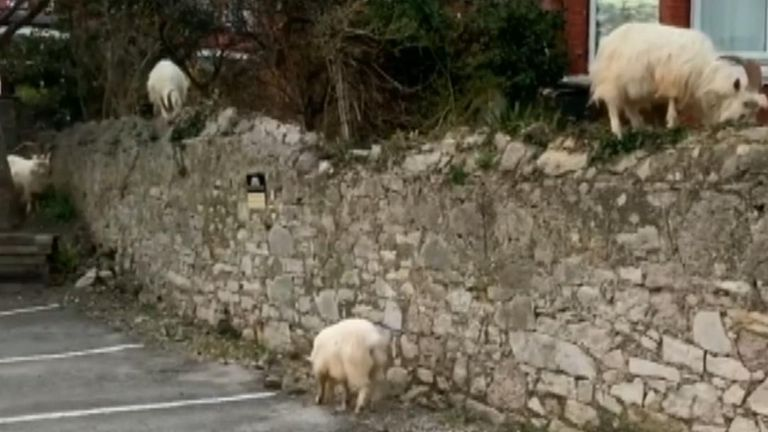 Kashmiri mountain goats were spotted investigating the seaside town of Llandudno while under COVID-19 lockdown