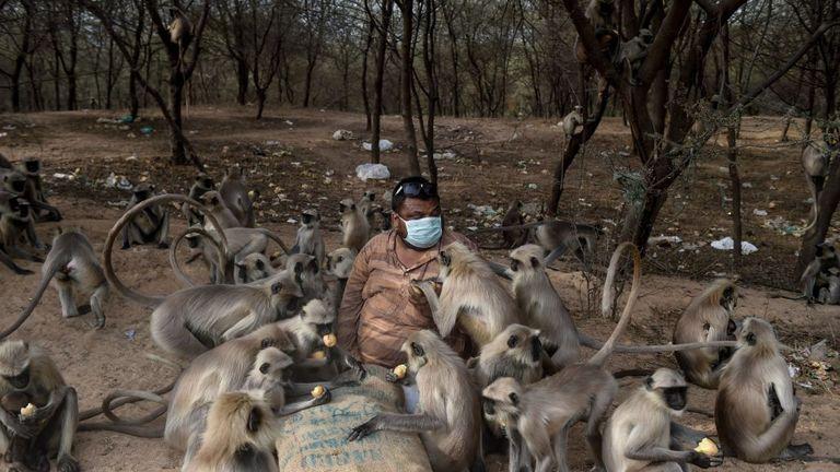A man feeds monkeys in Ode village, near Ahmedabad