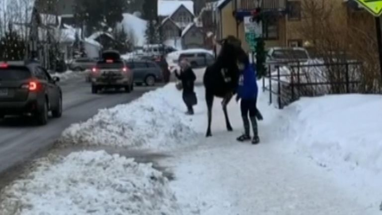 A moose wandering in downtown Breckenridge reacted aggressively after a woman made the mistake of trying to pet it.