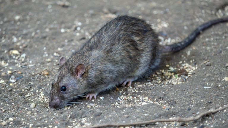 Rats were lured with bacon, peanut butter and oats. File pic