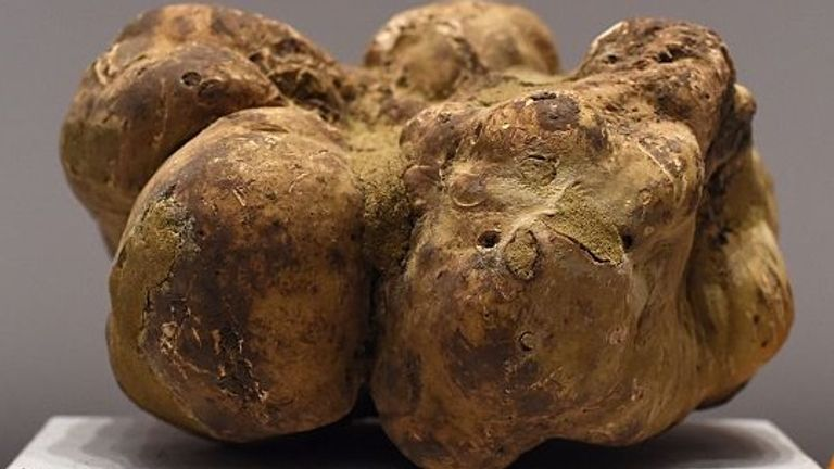 The largest white truffle in the world is on display at Sotheby's New York on December 5, 2014. The truffle was found last week in the Umbrian region of Italy weighing 4.16 pounds or 1.89 kilos. It is nearly twice the size of the existing record holder, which was sold for $417,200 in 2010. Sothebys will offer this truffel on December 6 and with expected to start at $50,000. AFP PHOTO / Timothy A CLARY (Photo credit should read TIMOTHY A. CLARY/AFP via Getty Images)