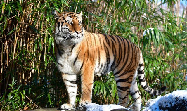 Coronavirus: Tiger at New York's Bronx Zoo tests positive for COVID-19