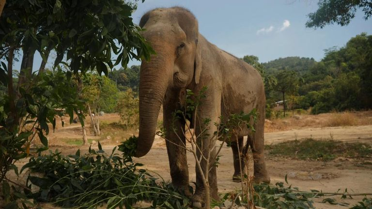 Why Thailand's elephants could be in danger