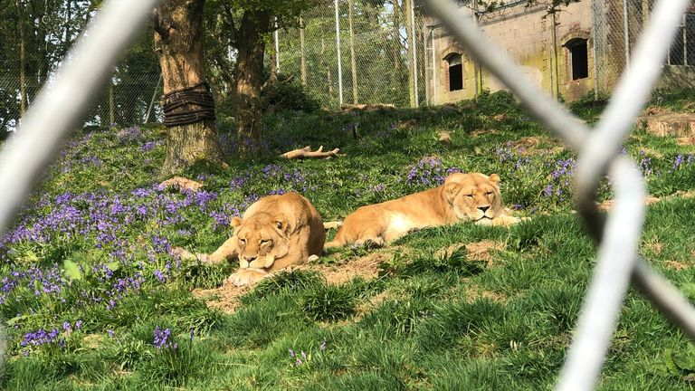 Lions among flowers
