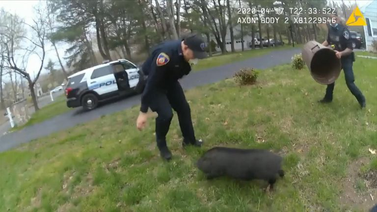 Footage by the Stamford Police Department shows three officers chasing a pig over 45 minutes around the edge of a pond