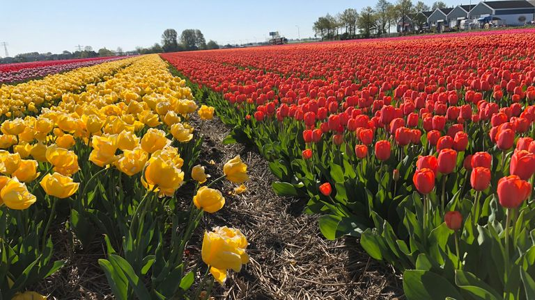 Henk van der Slot owns a tulip farm - but with events cancelled, he can't sell his flowers