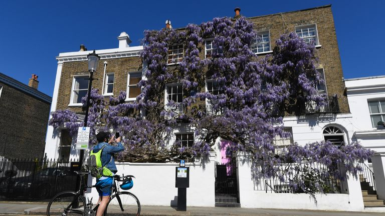 A cyclist stops to photograph Wisteria in bloom in Kensington, London.