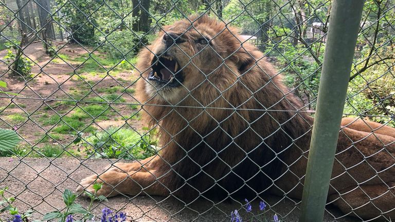 A lion behind a fence at Dartmoor Zoo