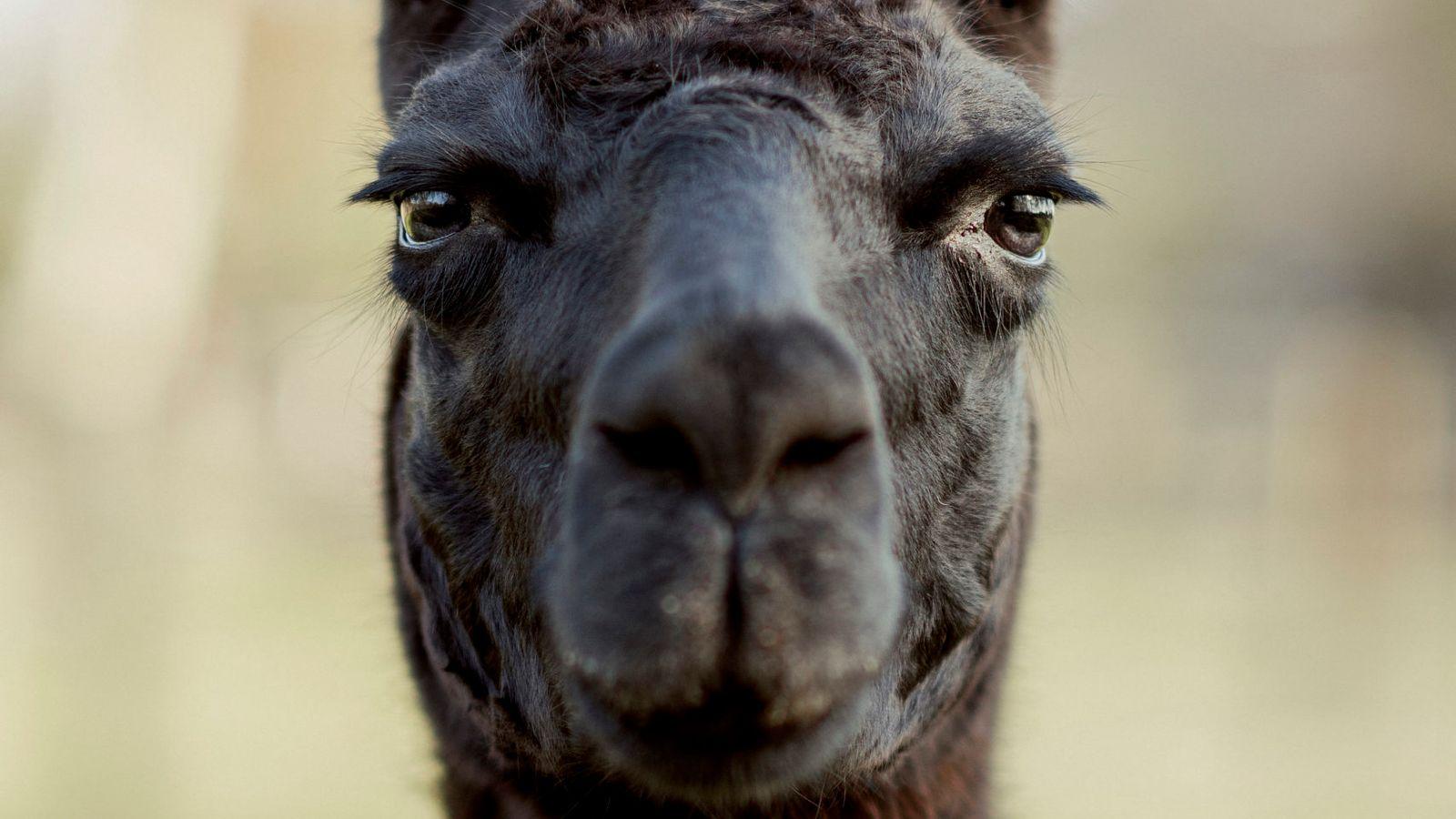 Coronavirus  Could A Llama Hold The Key To Treating Covid