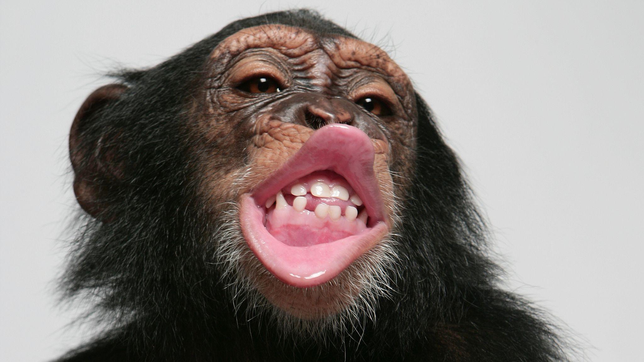 Chimp lip smacking could solve mystery of human speech evolution   UK News    Sky News