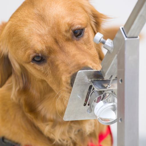 'COVID dogs' could sniff out up to 250 people an hour for coronavirus
