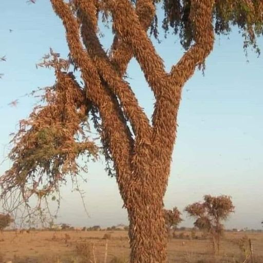 Swarms of locusts threaten food security amid COVID-19 pandemic