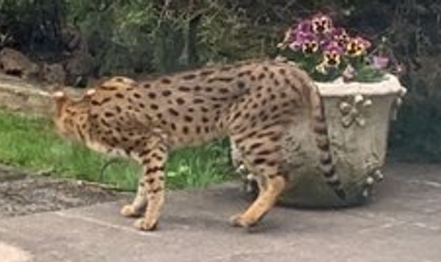 Big cat scare sparks armed police response in London street