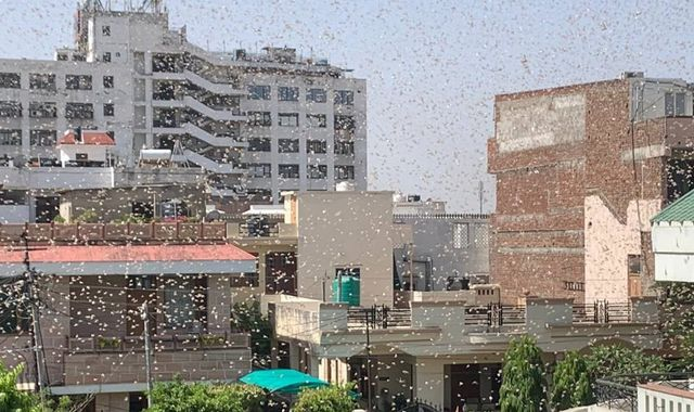 Swarms of locusts threaten food security for millions in India amid COVID-19 pandemic