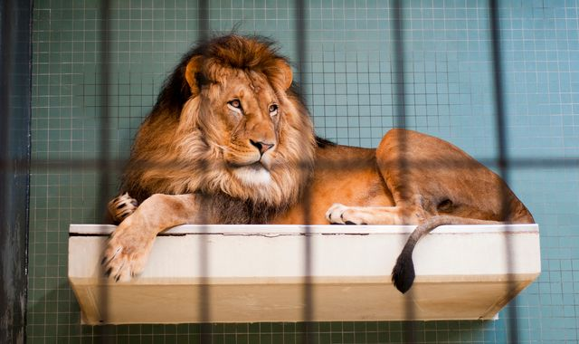 Lion attack in Australia leaves zookeeper with serious injuries