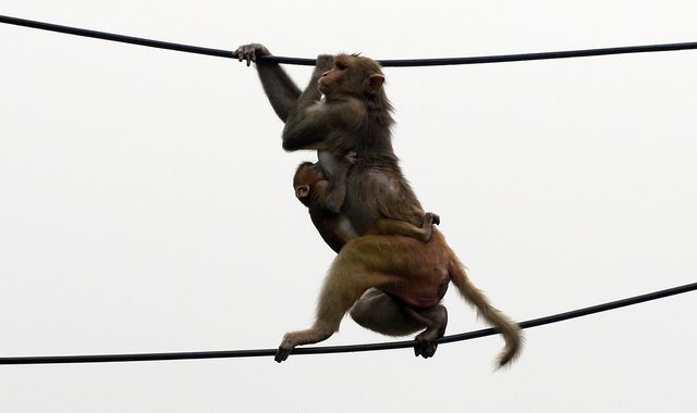 Coronavirus: Monkeys 'escape with COVID-19 samples' after attacking lab assistant