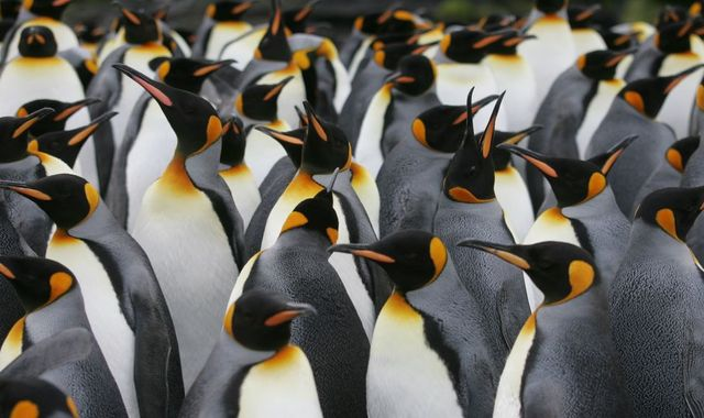 Scientists say they went 'cuckoo' due to laughing gas from penguin poo