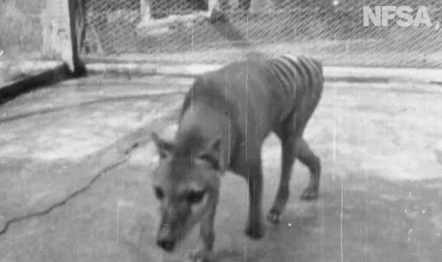 Newly released film offers final glimpse of extinct Tasmanian tiger