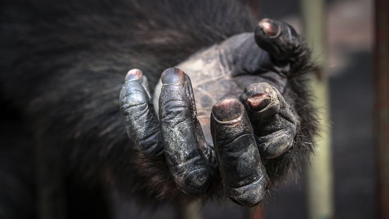 German police are investigating the discovery of an ape's hand and foot in a forest. File pic