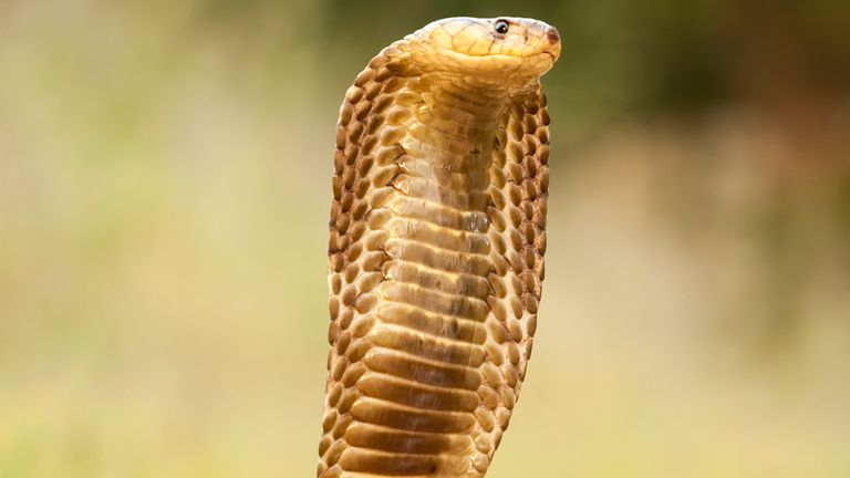 Uhtra was killed after being bitten by a highly venomous cobra. File pic