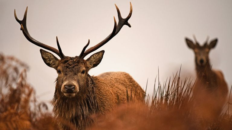 Excess deer can be harmful to the environment and they do not fare well when they get old