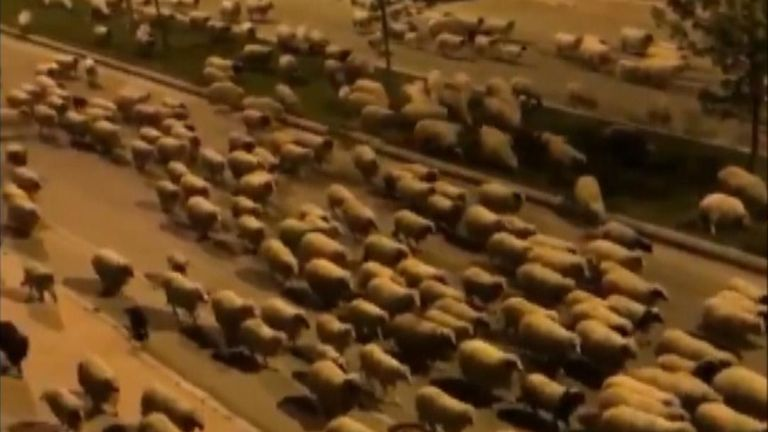 According to local reports, the streets were empty due to coronavirus curfews which applied to humans – but not the sheep