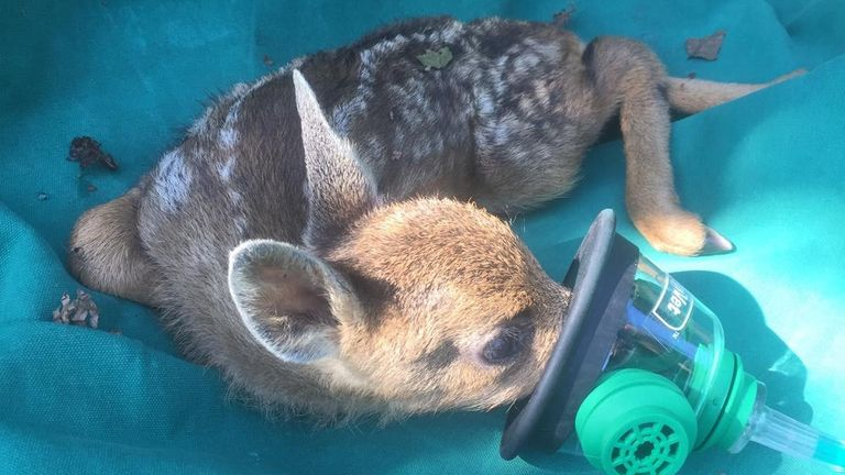 The little female Roe deer was given oxygen after a blaze broke out in important peatland in South Yorkshire