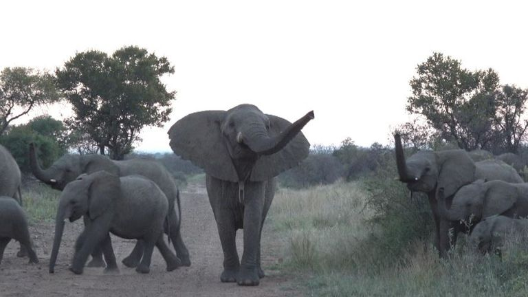 Poachers target the animals for ivory horn