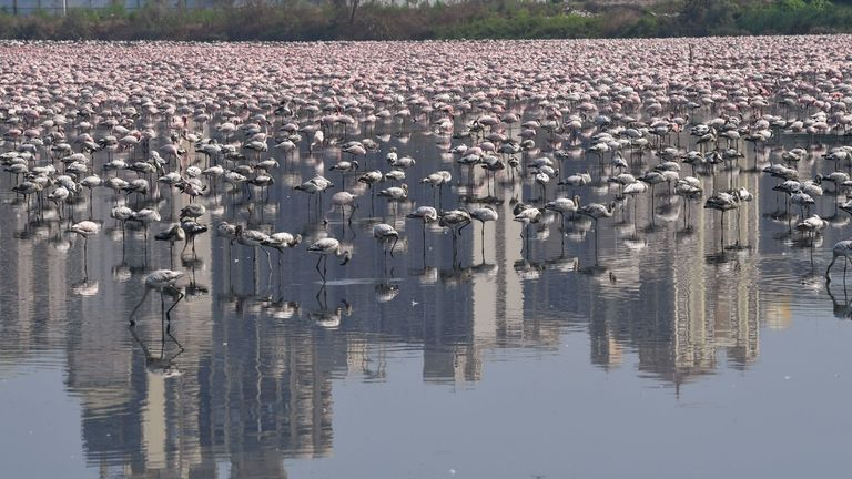 Flamingos are seen in a pond during a government-imposed nationwide lockdown as a preventive measure against the spread of the COVID-19 coronavirus in Navi Mumbai on April 20, 2020