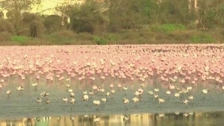 Thousands of flamingos take over Mumbai lake