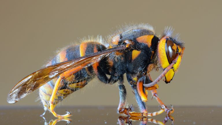 The hornet has a potentially lethal sting