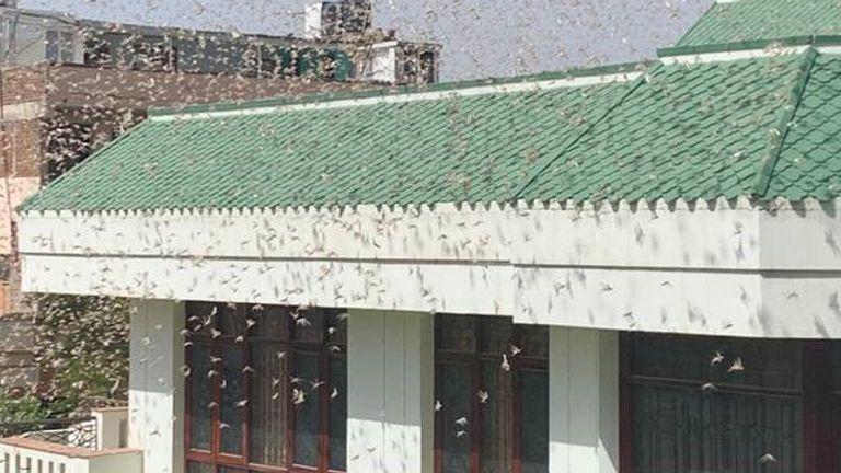 Each swarm containsabout 80 million adult locusts per square kilometre. Pic: Puneet Bali