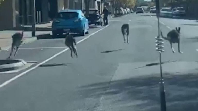 Kangaroos take to the streets in Millicent, Australia