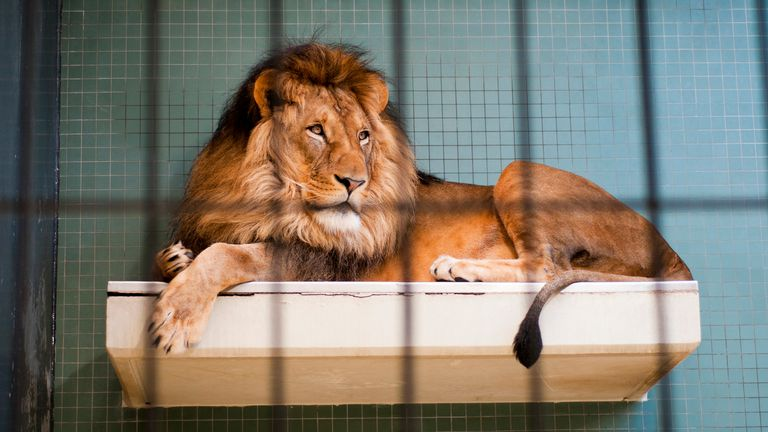 The woman was attacked by lions while cleaning their enclosure. File pic