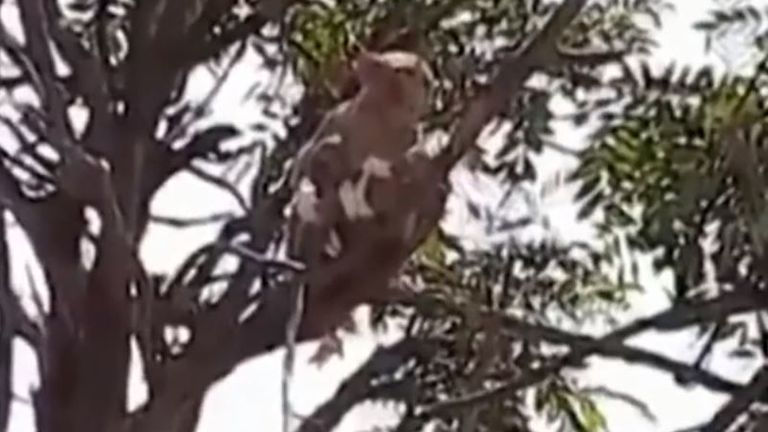 One of the monkey was spotted up a tree after the blood samples were snatched
